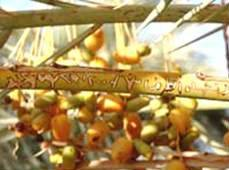 The famed dates of Siwa continue to be shipped throughout the Middle East. The palm frond shown here has Arabic writing on it.