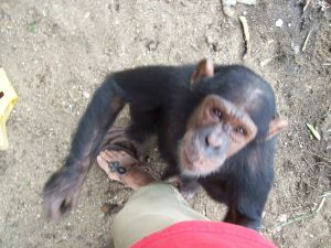 Moving Our Chimps in Burundi