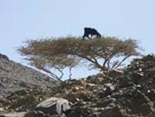 Local goat breeds are extremely hardy and capable of climbing trees to seek tender Acacia leaves. - Source: © David Haberlah