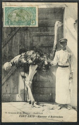 British colonialists attempted to raise ostriches for their feathers.