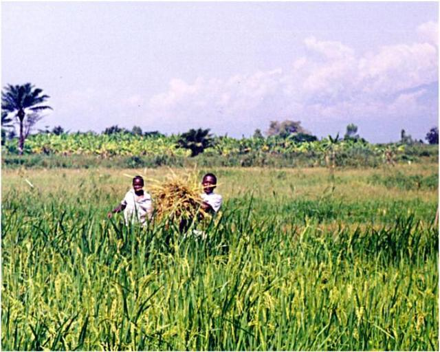 Kajaga is surrounded by vast rice fields, which is the major farming activity.  Here, boys are collecting rice straw to be fed to the livestock.  These boys took part in the training with the Brazilian team.
