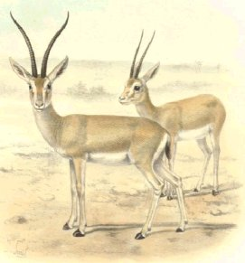 Gazella leptoceros - J. Smit, in Sclater and Thomas, 1899. Protected.