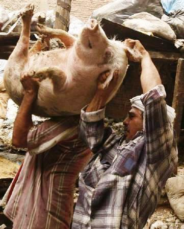 Egyptian copts with their pigs during the pig cull.  Source - Reuters