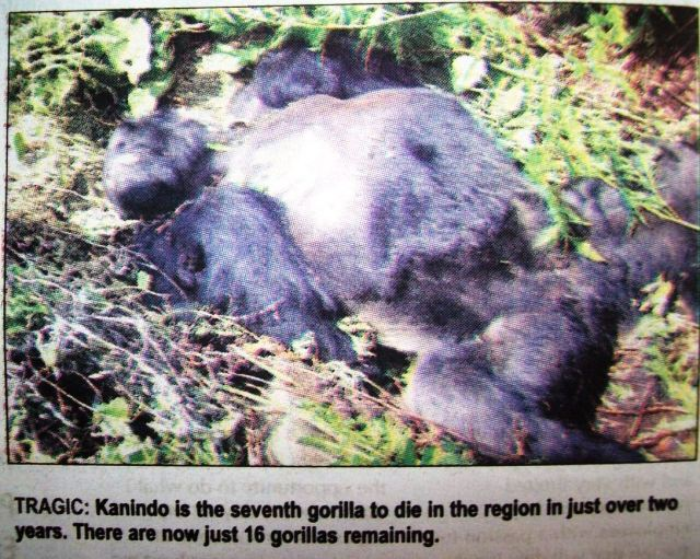 The gorilla was trying to climb on some branches that were rotten.