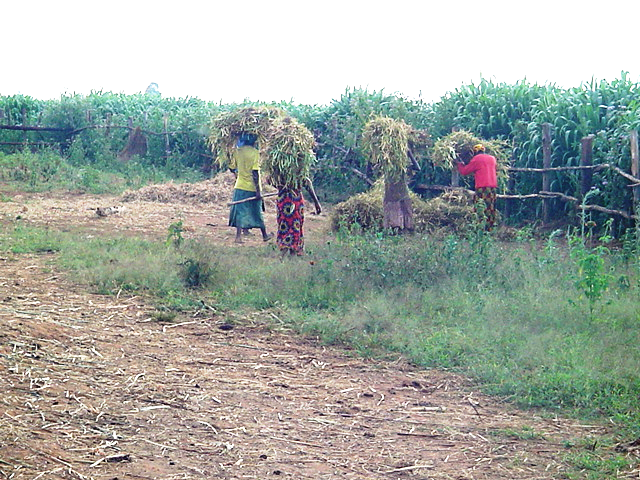Ripe beans are collected and bundled away for drying - head transport is the norm in rurual Burundi
