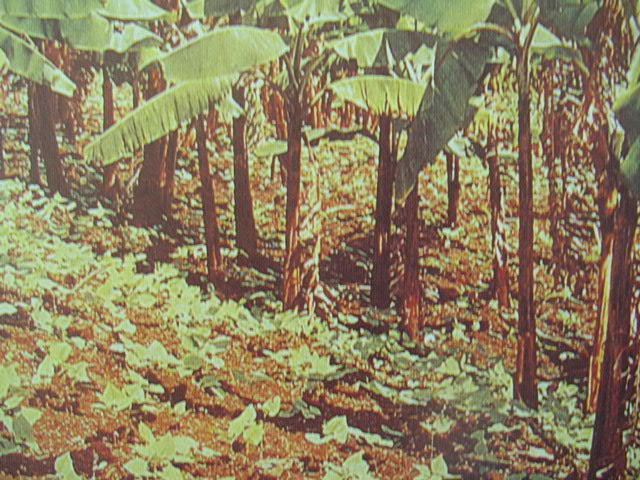 Banana groves provide excellent, filtered light for groundcover beans
