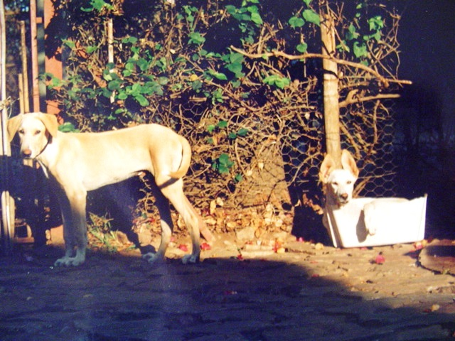 Our two Rhodesian Ridgebacks, Hamdi and Hind.  Hind (in the box) excaped the compound one night and trod on a mine.  Hamdi later died of Thelarioses, for which no medications were available due to the war.