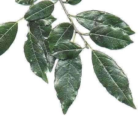 Rhamnus pridioides, or Shiny leaf Buckthorn,