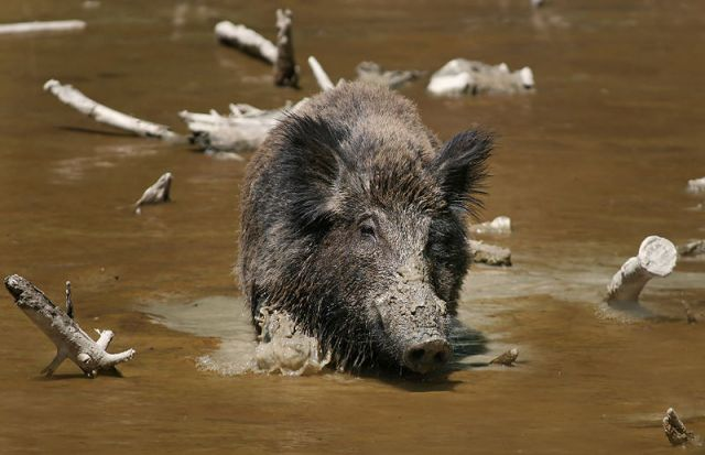 Wild boar in the swamps.   Source: Wikipedia