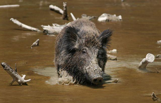 Wild boar in the swamps.   Source: Wikipedia