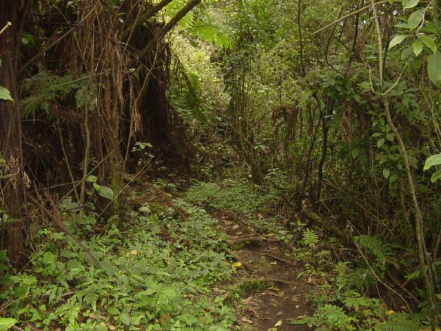 Through the forest of Mt. Cameroon.  Source:  caboose.org.uk