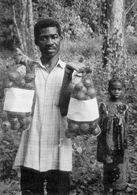 A germplasm collector showing fruits of Irvingia gabonensis collected in southwest Nigeria. (photo D. Ladipo)