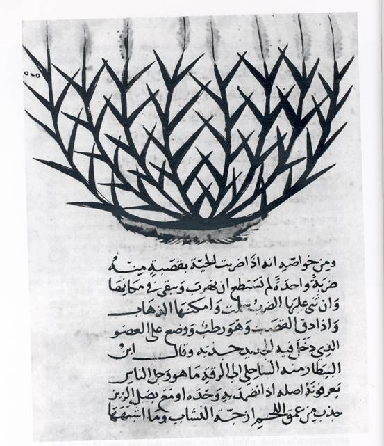 Sugar cane depicted and described in an Arabic manuscript on natural history