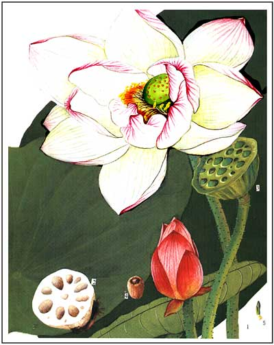 The tubers, seeds, leaves, stems, and flowers of lotus plants can be eaten.  Source:  itmonline.org