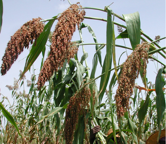 Sudanese Sorghum.  Source:  Rockefeller Foundation