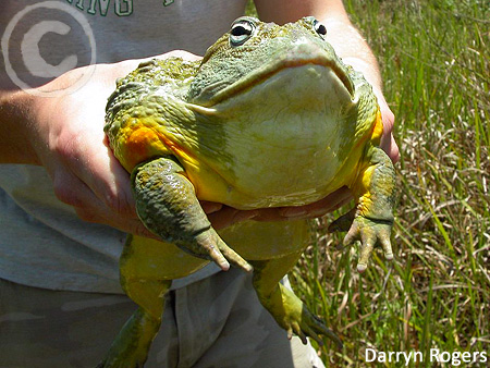 A male African Bullfrog, indeed the size of a chicken.  Source:   www.frogforum.net