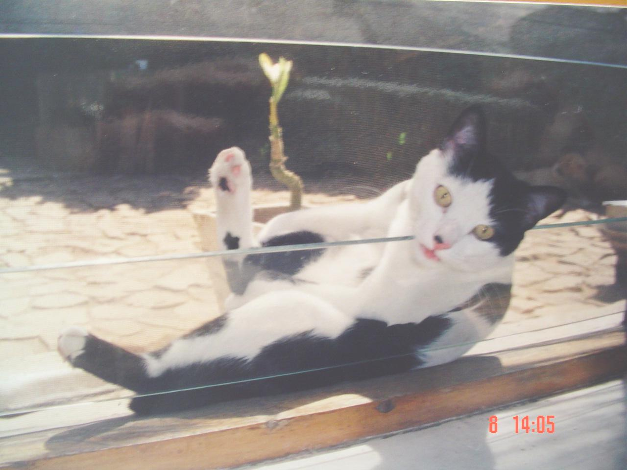 Image Result For Belgian Cats