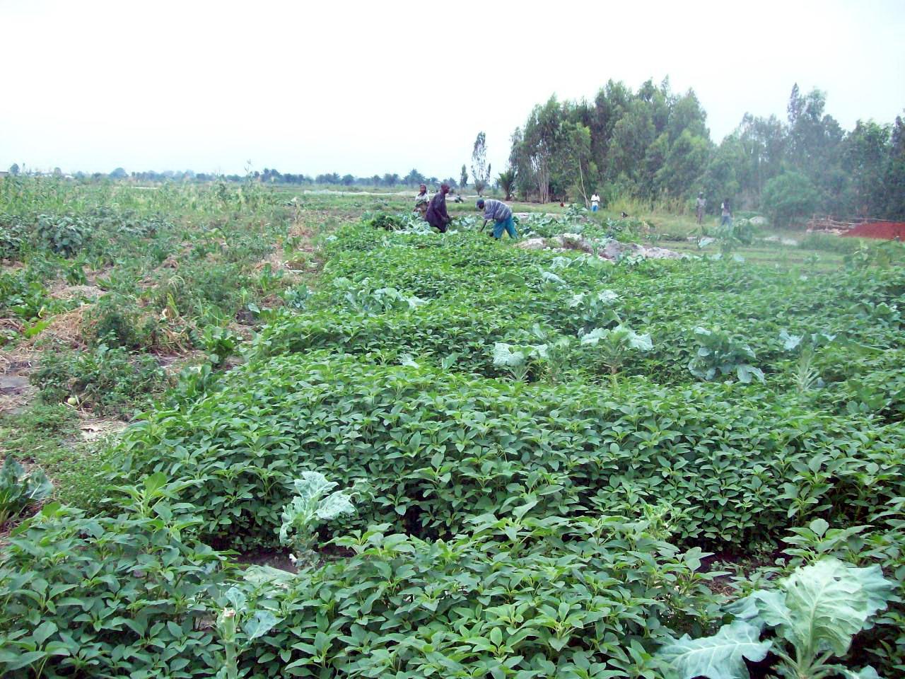 History Of The Watermelon File Watermelon Farm Aryan Mehr