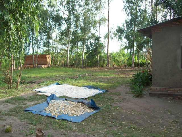 This is the new area for small plots for the women- the area extends in back.  In the front, are pieces of cassava drying