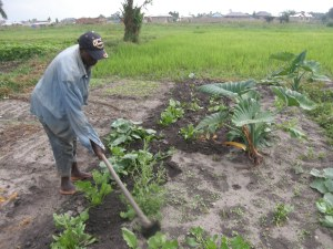 Working in the indigenous vegetables plots in the village