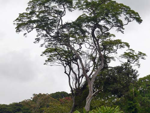 African Zebrawood, noted for its cream-black wood, grows above the tree line.  Source: David Gill, Fauna-flora'org