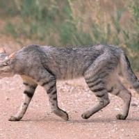 Lulu-Cat, an F1 African Wildcat