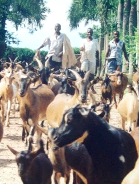 Doe herd leaving the compound to browse.  During the war years, a minimum of two herders accompanied  each herd for security reasons.  The schedule of browsing: 7-noon, home to rest, 2 - 6 pm.