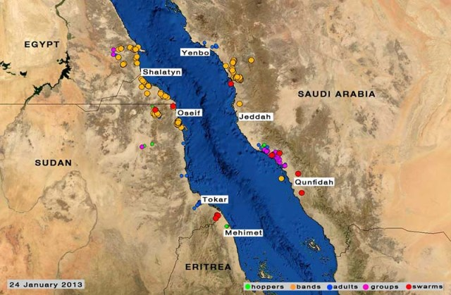 The Desert Locust situation remains serious in the winter breeding areas along both sides of the Red Sea. During January, ground and aerial control operations continue against hoppers bands and a few swarms in northeast Sudan (15,600 ha) and on the Red Sea coast in Saudi Arabia (3,500 ha). Ground control operations are in progress against similar infestations in southeast Egypt (3,100 ha). Another generation of breeding will occur in the three countries, causing locust numbers to increase further. Recently, a few swarms were seen laying eggs on the coastal plains near the Sudan/Eritrea border. All efforts are required to monitor the situation carefully and undertake the necessary control operations.  Source:  FAO Desert Locust Briefs