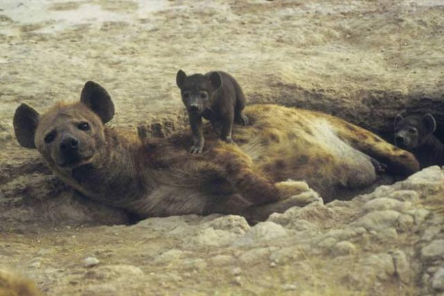 Hyena and pup, east Africa.  Source: Dr. Kay Holekamp, MSU.
