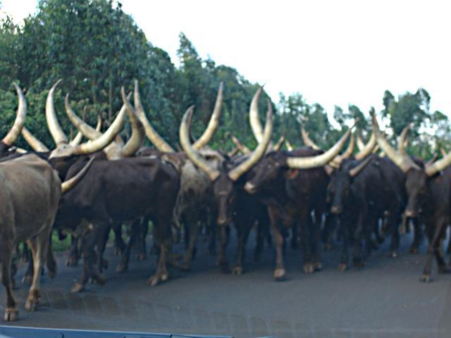 A herd of ankole cattle that I passed in central Burundi that is on its way from Tanzania to the abattoir in Bujumbura - perhaps the last, long commercial cattle drive in Africa.