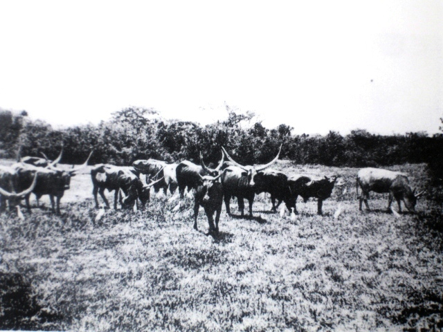Ankole cattle in central Burundi, c. 1910.  Source: Hans Meyer, Les Barundi. Une étude ethnologiqueen Afriqueorientale.