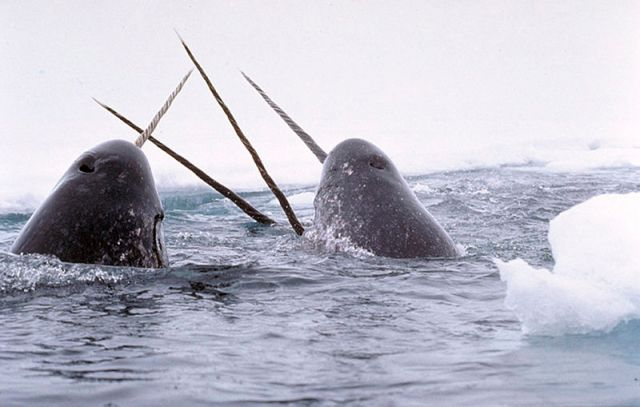 Narwhals tusking with their single tusks. They were sometimes called the unicorns of the sea and their single tusks were commonly sold as being unicorn horns. Source: Wikipedia
