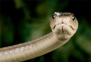 Black mambas are not always black. They get their name from the inside of their mouth. Source: Nat. Geog.