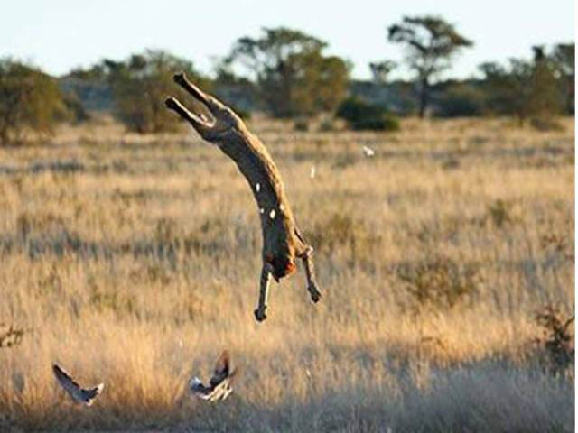 Wild Cat in South Africa, flipping over in order to catch a pigeon - 1.8 m. high.  I never saw Lulu perform this movement, but he did have others of a spectacular nature.  Source: Telegraph