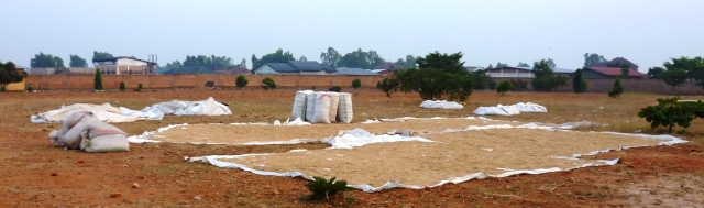 Harvested rice is spread out to dry, which can be a very tricky business during the rainy season!