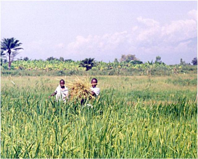Collecting rice straw - an important supplement for use with livestock and for sales.  Picture taken about the same time as the one above (c. 2005)