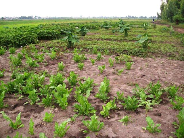 Once the rains are over and the water in the Imbo subsides, crops can be planted next to any remaining rice.