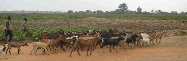 One of our goat herds (does) going out to browse on the Imbo Plain.