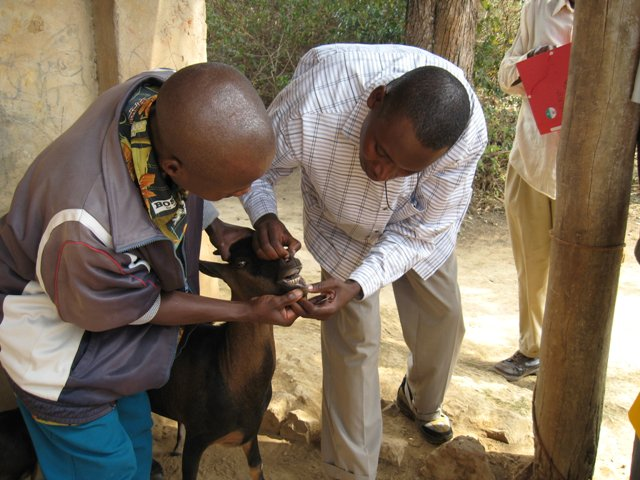 The same training session - one of the teams aging a goat by means of its teeth, following use of a FAMACHA card to determine degree of anemia.