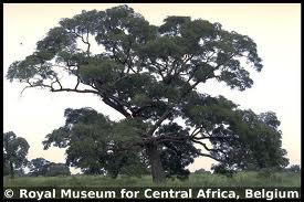 Parkia biglobosa-habitus