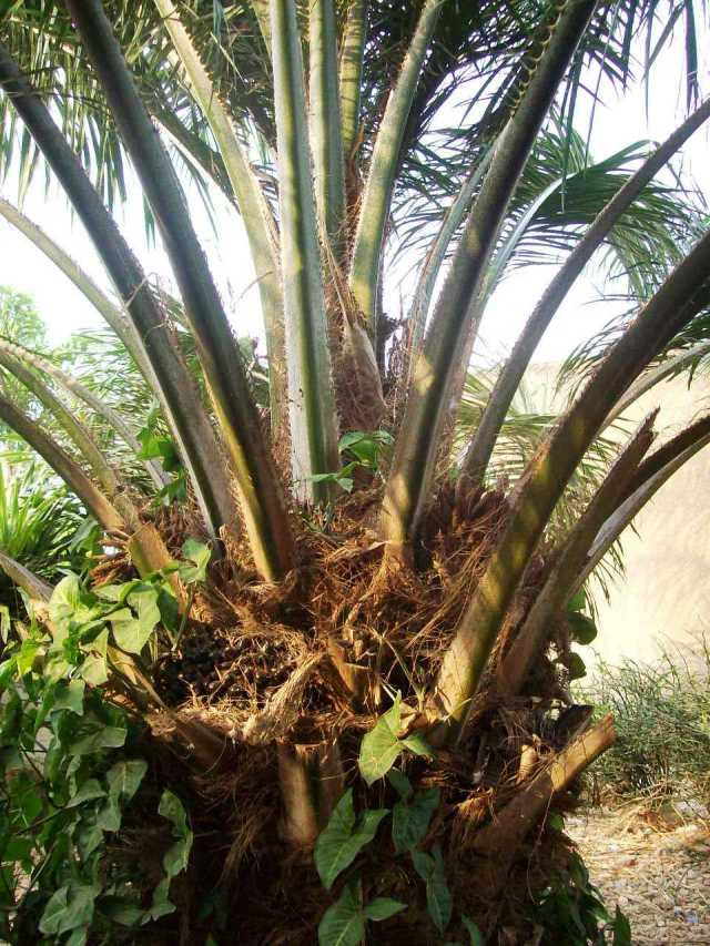 In the village, oil palms are coming to fruit.