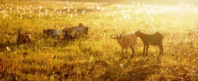 A few of our goats, enjoying the early morning sun.  The seeded grass provided excellent fodder.
