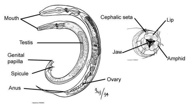 m-and-f-nematodes-non-parasitic-and-a-close-up-of-a-nematode-mouth-right  Source - www.marlin.ac.uk