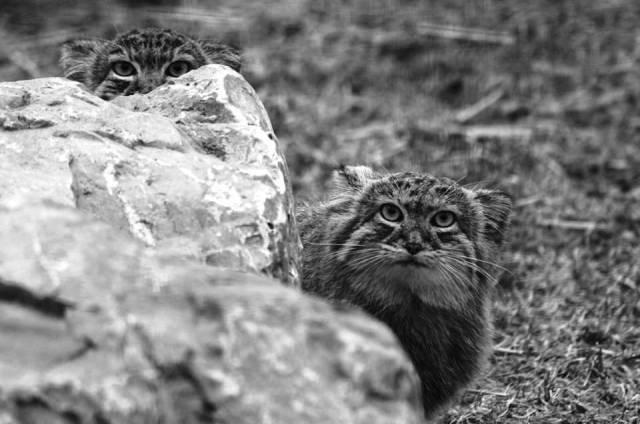 Source - Source - Macdonald-Biology and Concervation of Wild Felids