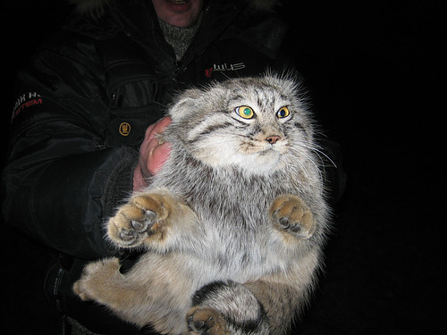 Pallas Cat - A Central Asian Mystery (5/6)
