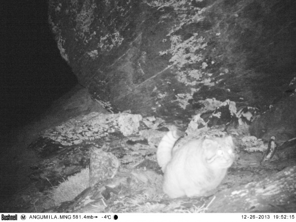 Pallas Cat - A Central Asian Mystery (4/6)