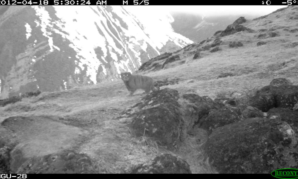Pallas Cat - A Central Asian Mystery (3/6)