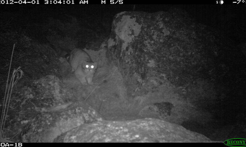 Pallas Cat - A Central Asian Mystery (1/6)