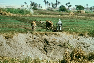 Ploughing on the West Bank in Upper Egypt in the 1976.  Source - africa.focus.database. University of Wisconsin.