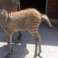 Behold: a zonkey is born ... leading to thoughts about ancient Egyptian animals